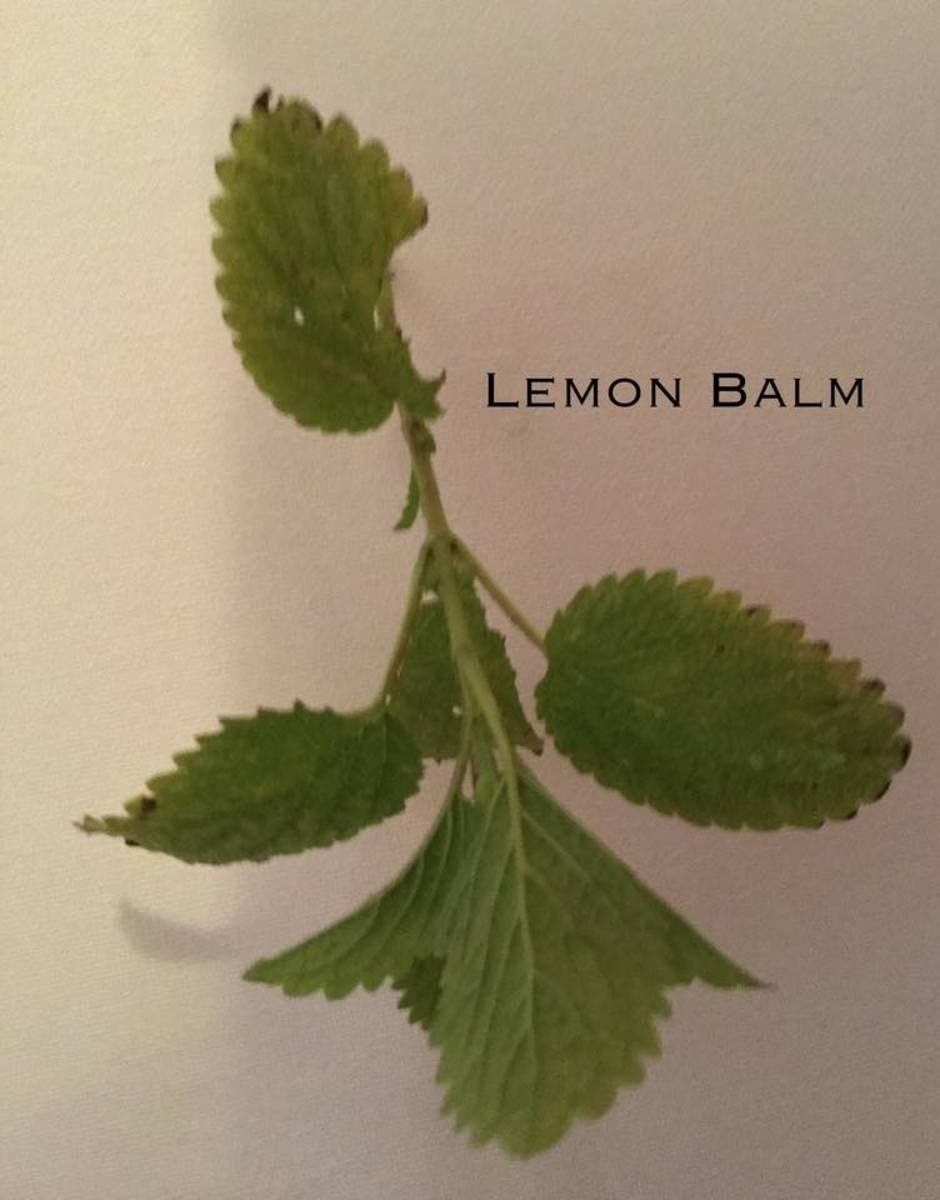 Lemon Balm: Melissa officinalis.