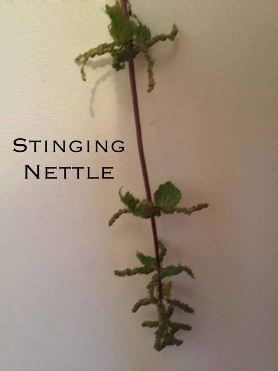 This is actually a Roman Nettle.