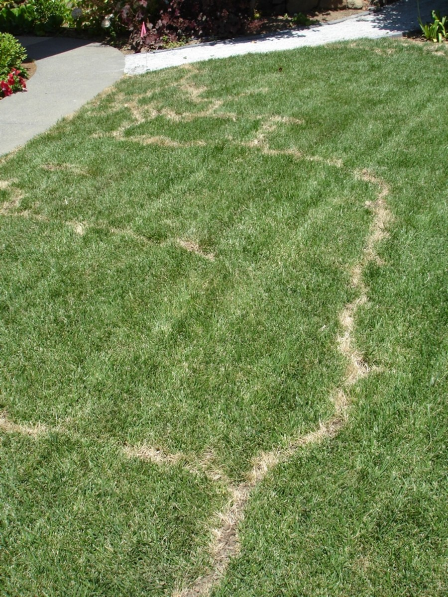 This is a vole-damaged lawn. The obvious tunnel work is easier to see when a lawn starts to dry out.