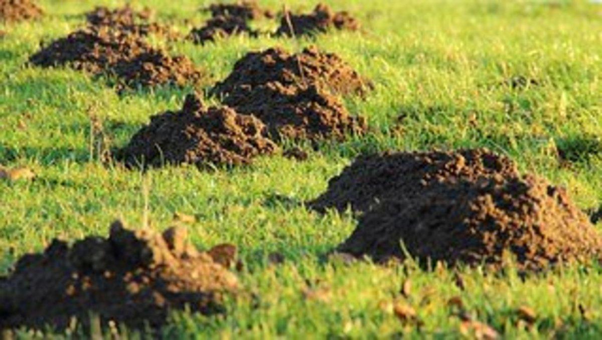 Mole hill damage in a yard