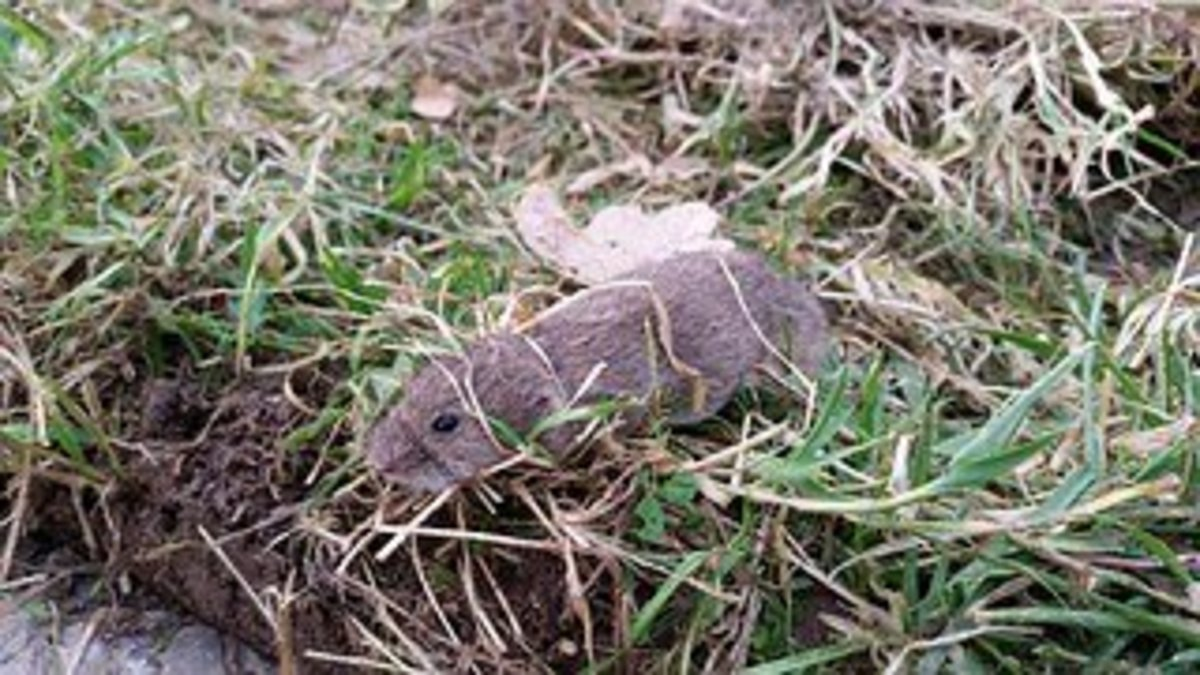 A vole is a type of field mouse although some are found closer to water than in a field