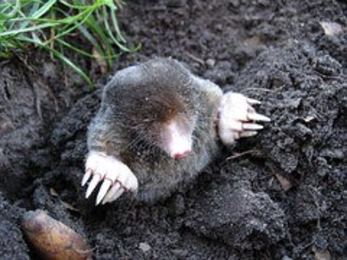 A mole is a small mammal with short, powerful front paws designed to dig outward