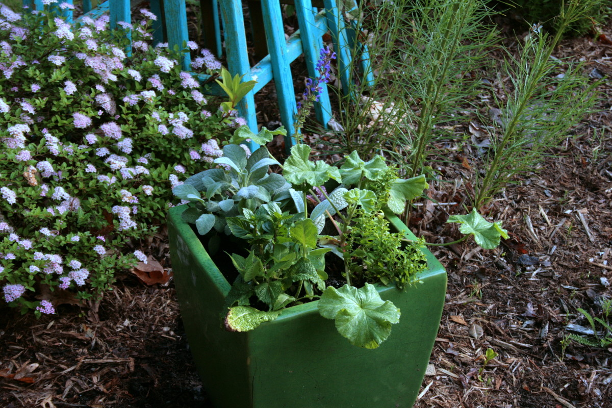 We placed the second container in an island bed where spirea, summersweet, butterfly weed, amsonia and bee balm also grow. I'm please with how diverse the textures of the plants are.