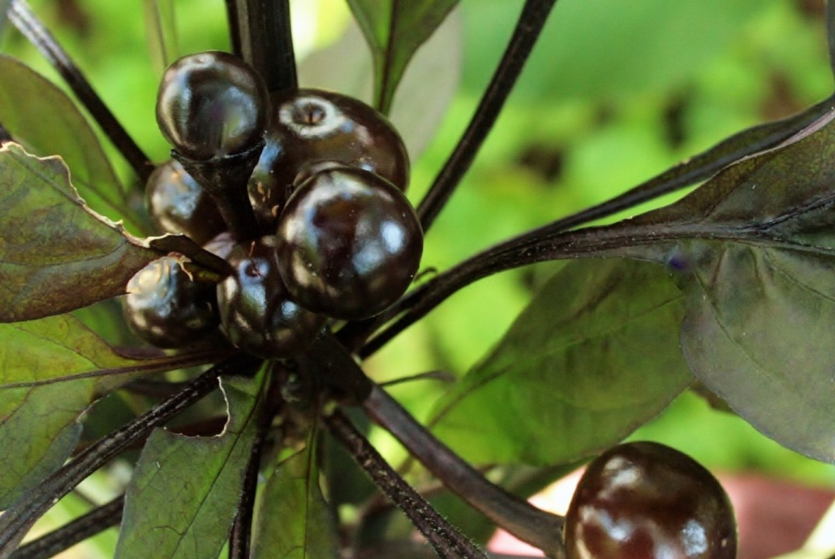 The Black Pearl pepper bloomed shortly after planting, then developed gorgeous, glossy black fruit.