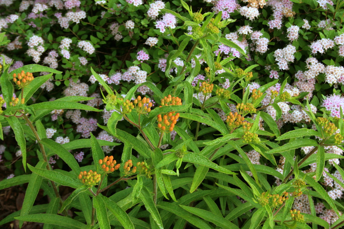 Scully's sample pot featured orange and pink. Pictured: butterfly weed and spirea.