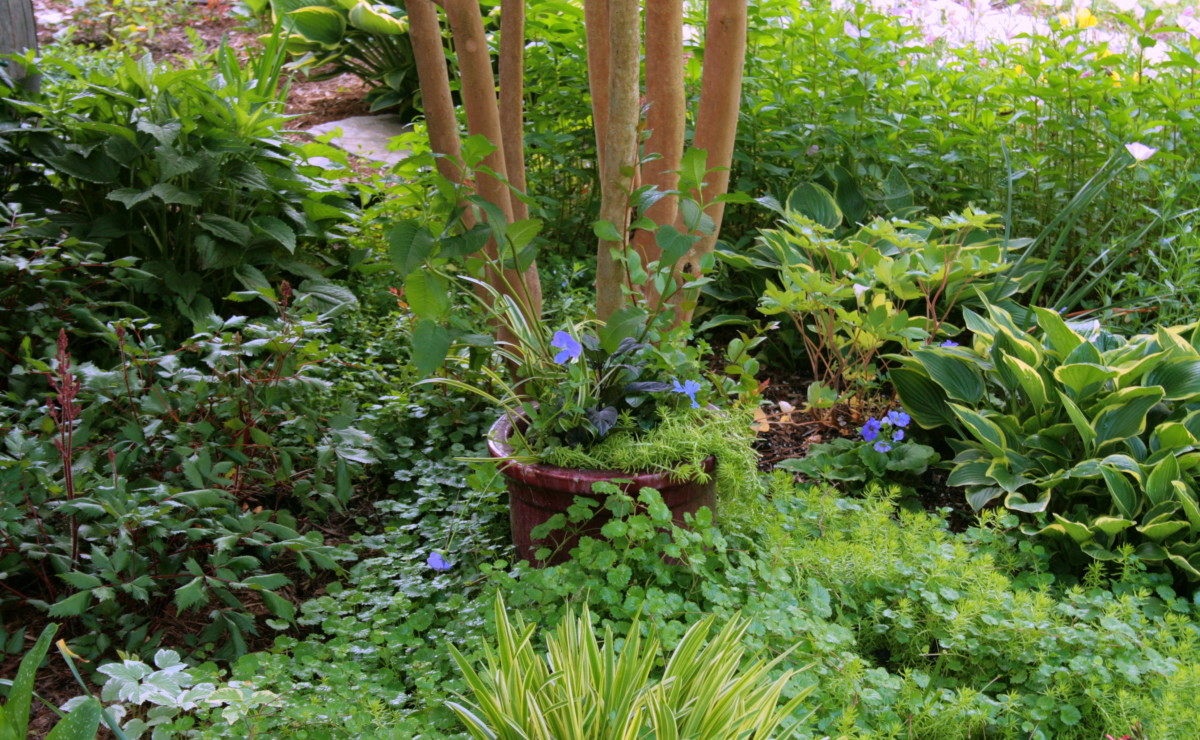 We placed the first mixed container containing turtlehead in partial shade under a crape myrtle. Nearby are some of the same plants in the pot, as well as hosta, astilbe, black-eyed Susan, bleeding heart, snow on the mountain and evening primrose.