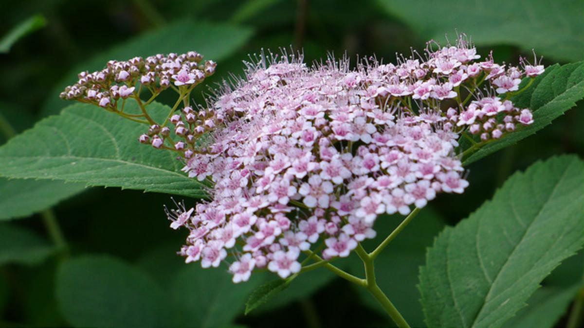 Pink spirea flowers