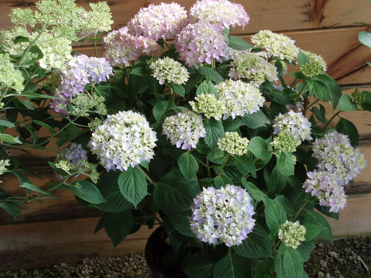 "A variety of flower colors on the ""mophead"" new hydrangea, 'Endless Summer'"