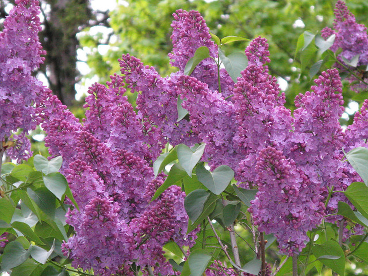 Reblooming Shrubs for the Home Garden