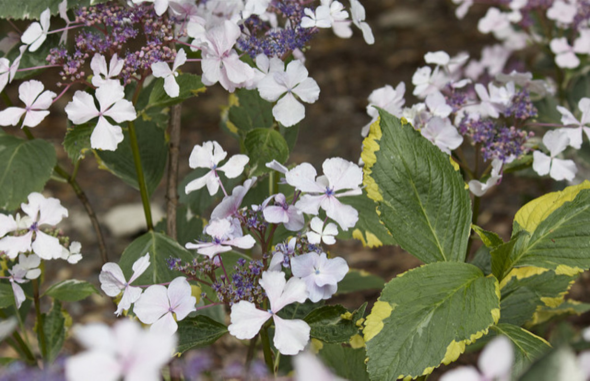 A lacecap hydrangea which also has variegated foliage