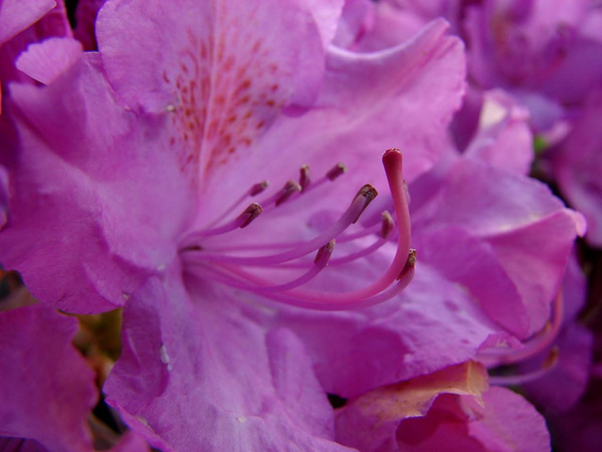 Typical pink azalea