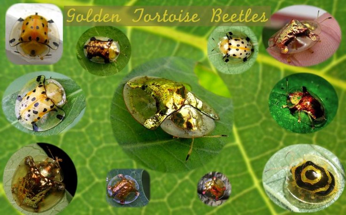 How to Get Rid of Golden Tortoise Beetles Safely and