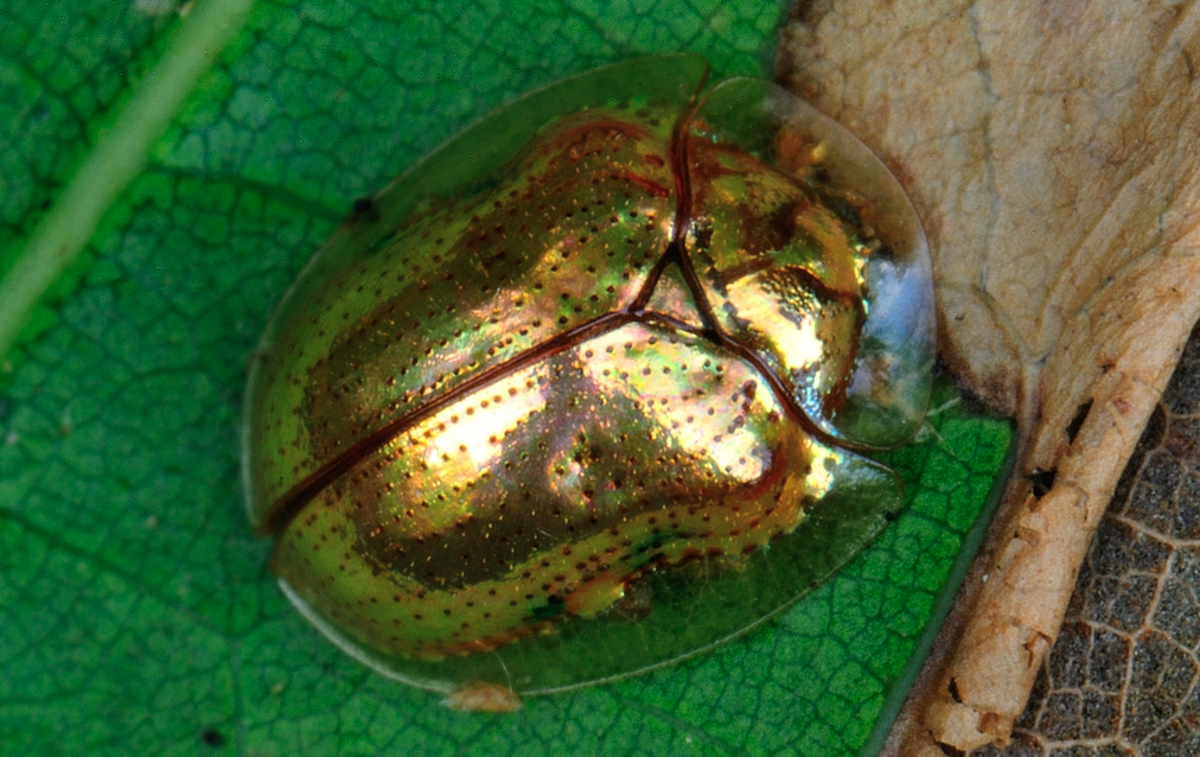 How to eradicate golden tortoise beetles naturally