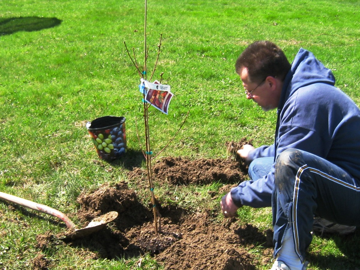 JJ plants a pollinator peach tree.