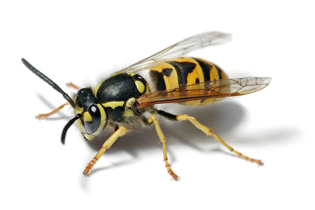 Wikipedia provided this beautiful photo of a yellow jacket wasp. It is used under Creative Commons licence.
