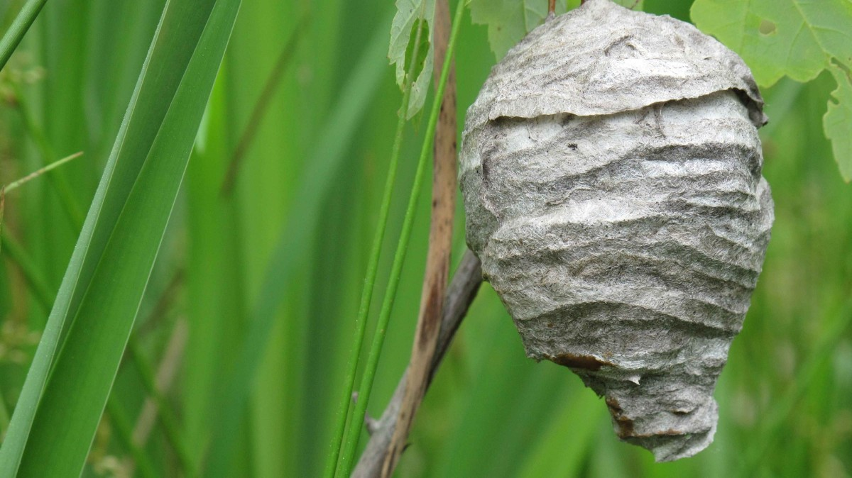 I found this photo to show how the exterior of a hornet's nest would look.