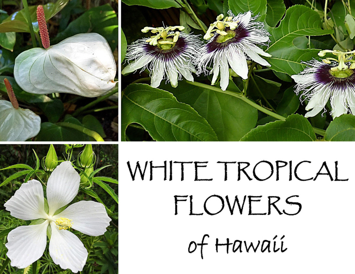 Planting a Garden With White Tropical Flowers From Hawaii