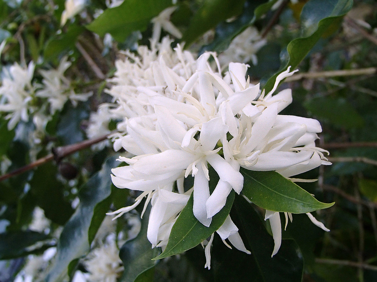 Coffee tree flowers have delicate, sweet scent.
