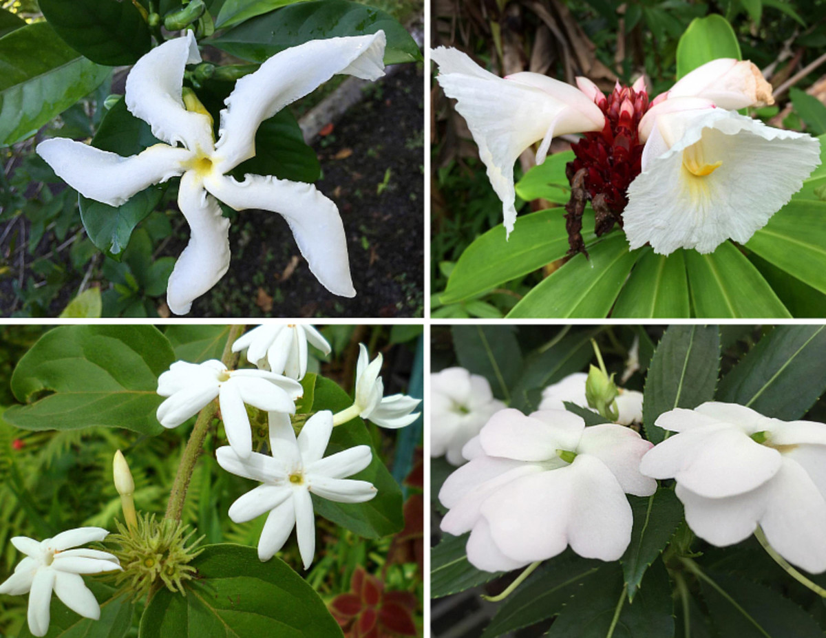 Clockwise from top left: 'Forbidden fruit of India' gardenia (gloriously scented!), crepe ginger (grows wild in Hawaii), impatiens, climbing star jasmine.