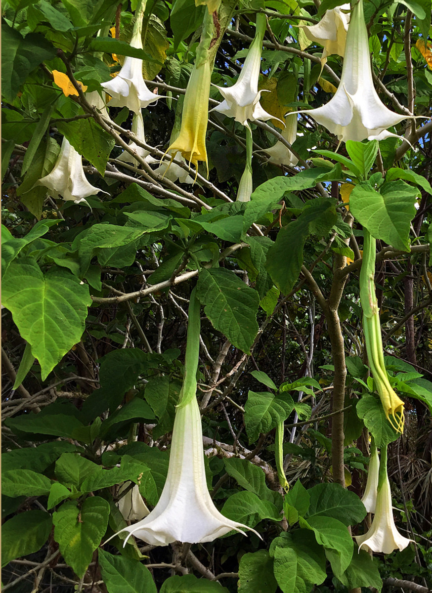 Large, fragrant white Brugmansia (also called Angel's trumpet).