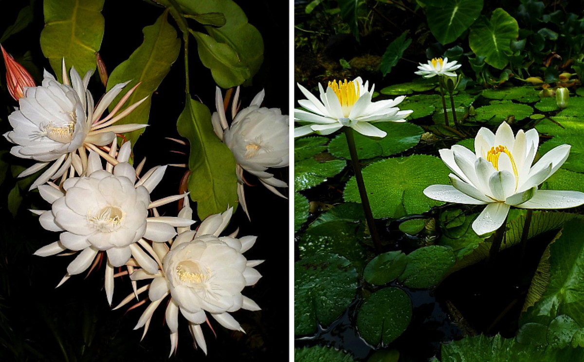 Left: Night-blooming cereus.  Right: Night-blooming white water lilies.  Both species release incredible exotic perfume into the night air.