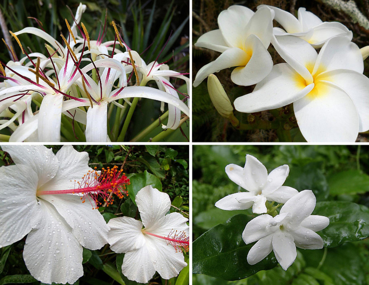 Clockwise from top left: Sumatra lily, plumeria, pikake jasmine, white native Hawaiian hibiscus.