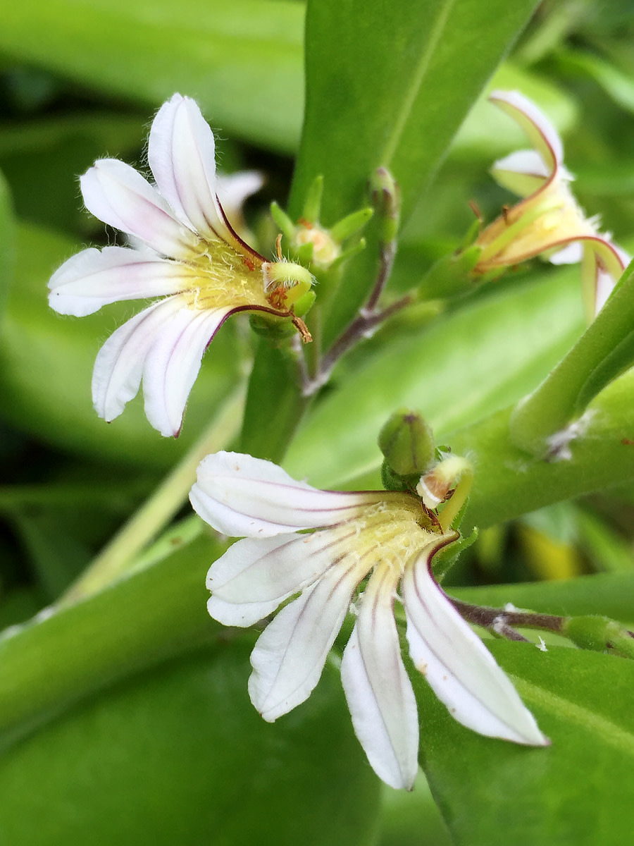 Naupaka grows along the shorelines; its 'half-a-flower' shaped blossom tells a romantic Hawaiian legend.