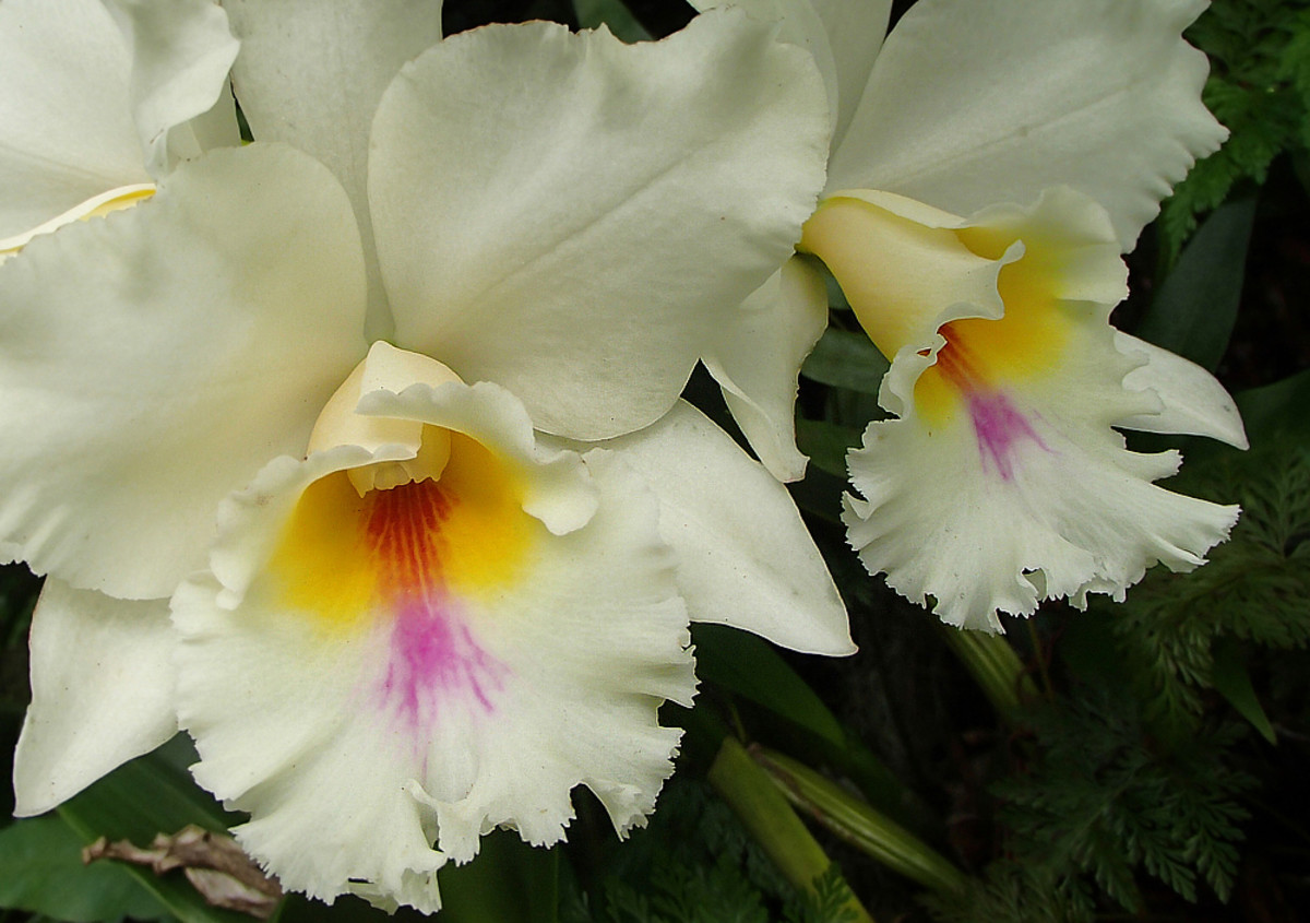 This lovely cattleya orchid has strong, spicy scent.