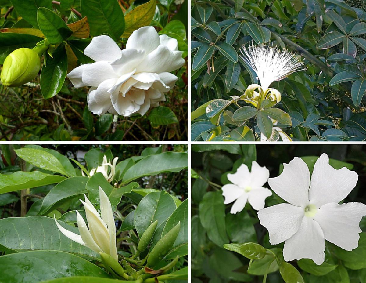Clockwise from top left: Gardenia, malabar chestnut flower, 'White Lady' thunbergia, pak-lan (also called white champaca).