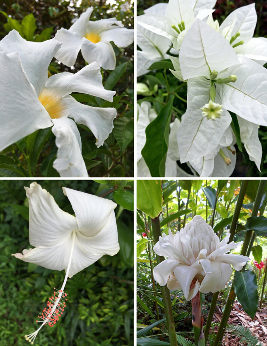 Clockwise from top left: Mandevilla, bougainvillea, white torch ginger, 'Snow White' hibiscus.