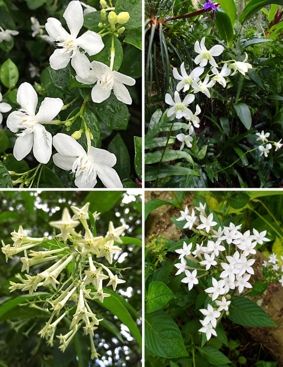 Clockwise from top left: Coral swirl, dendrobium orchid, pentas, night-blooming jasmine.