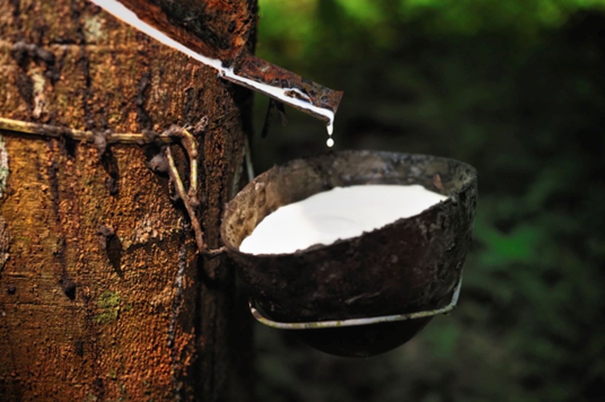 Pure Latex from Rubber Tree