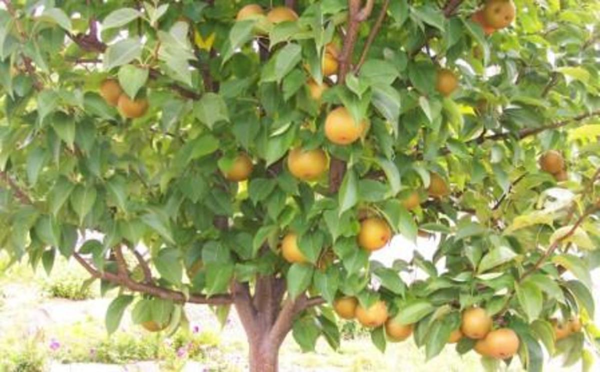 This is an Asian pear tree.