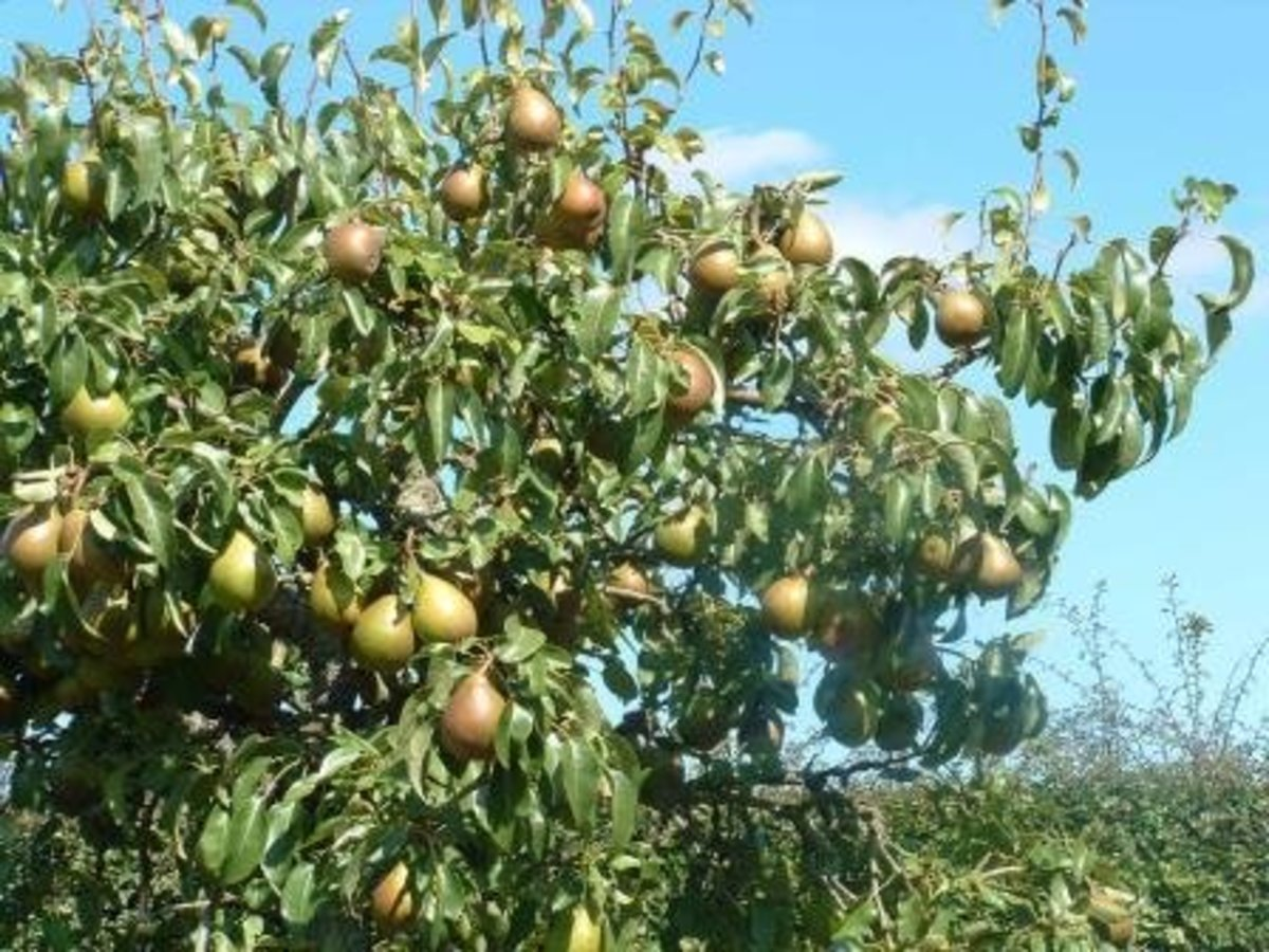 A mature pear tree with ripe fruit.