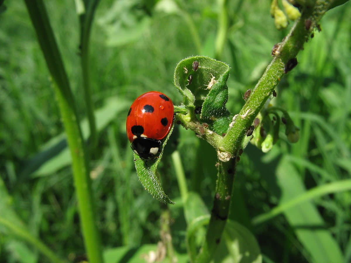 Ladybug will be eating these aphids.