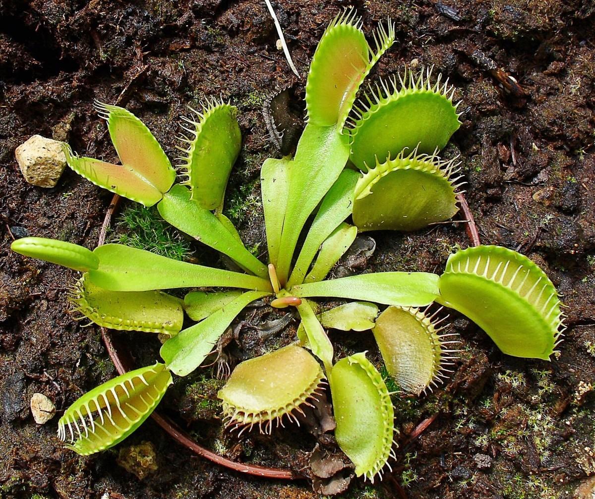 A Venus flytrap in a botanical garden