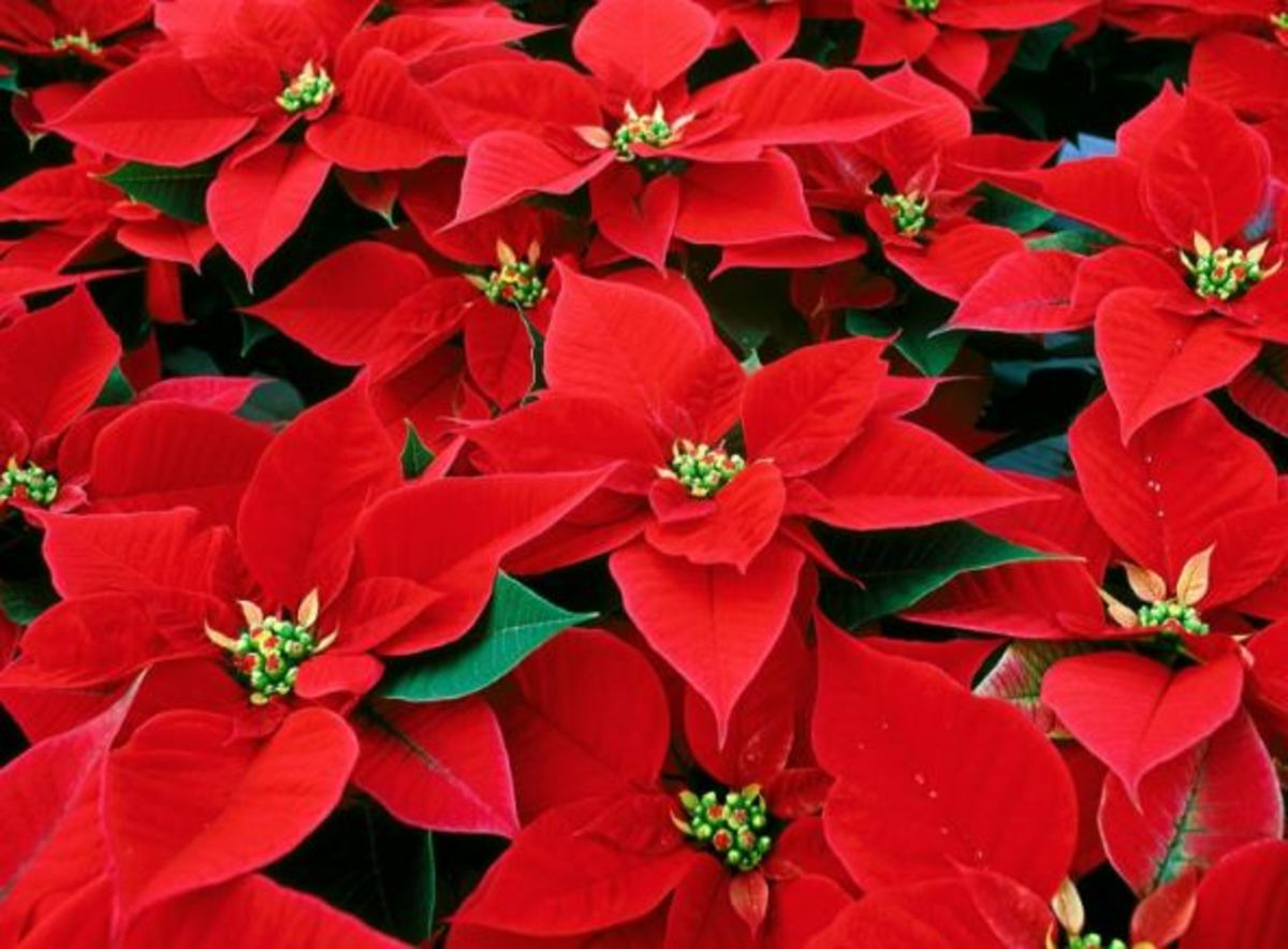 Add Color Indoors With Bromeliads and Poinsettias