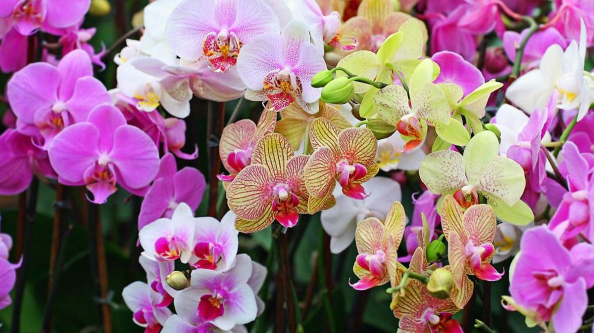 Orchids: A Brief History of the Fascinating and Beautiful Plant