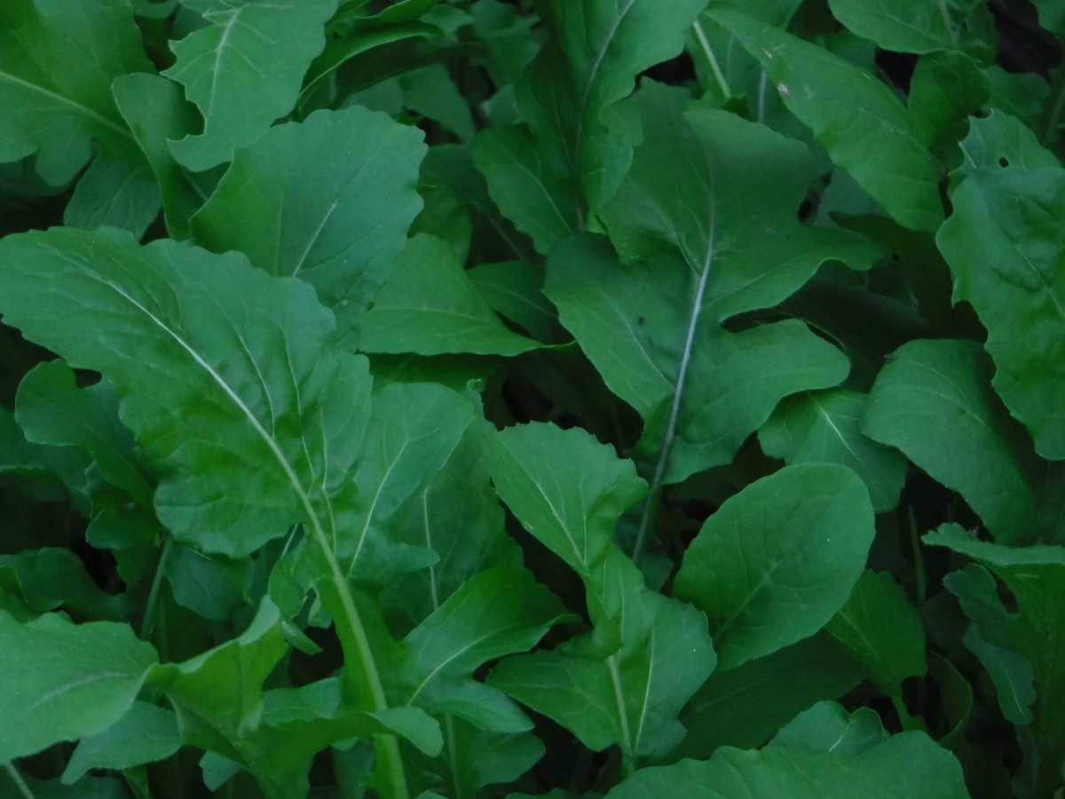 Arugula in My Garden