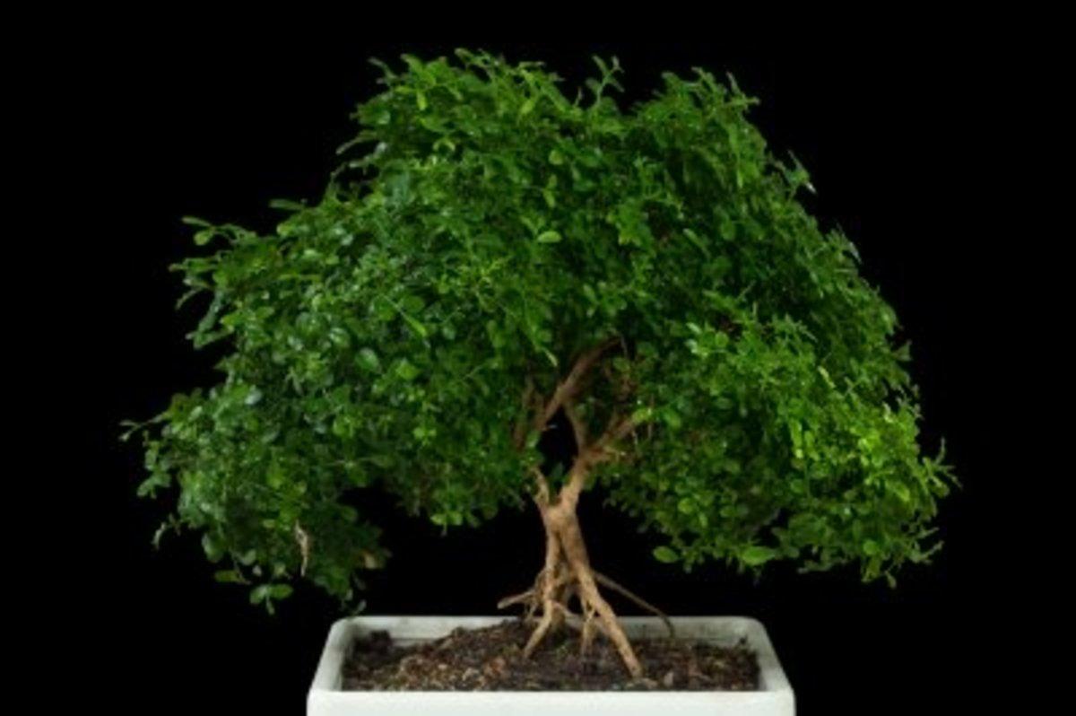 Indoor Bonsai Tree Care Guide | Dengarden