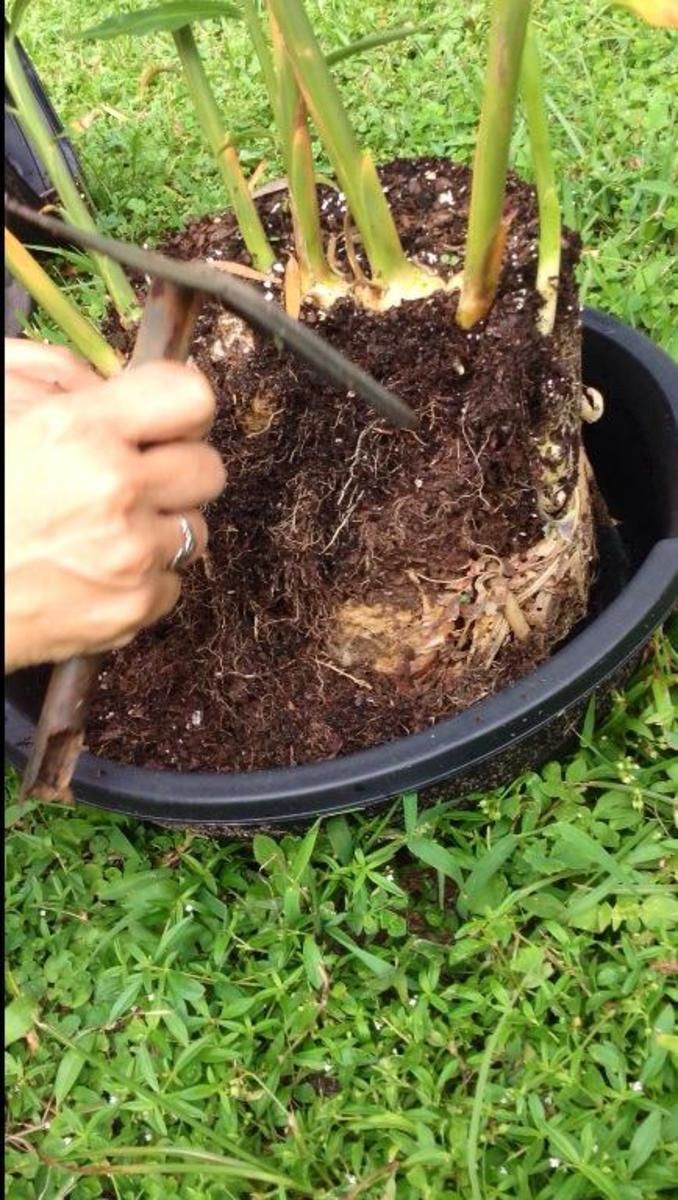 It was so exciting being able to harvest my own ginger.  Can you see that large clump?