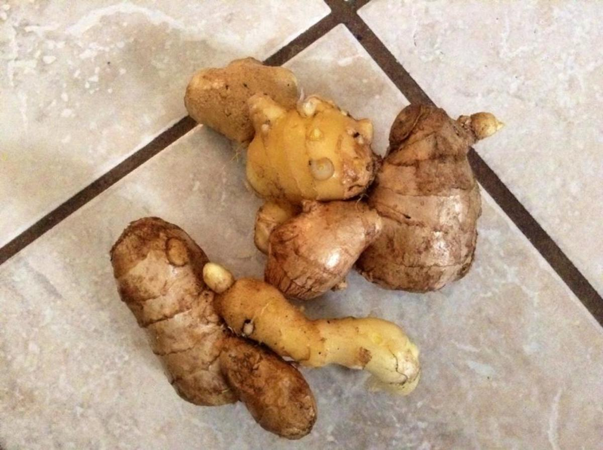 Freshly harvested ginger.  Some of these can be replanted as you can see the buds on the end of some of these pieces.