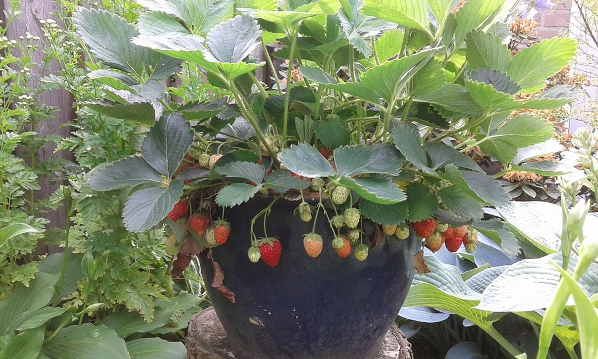 Strawberries can be grown in a container as long as there is a drainage hole.