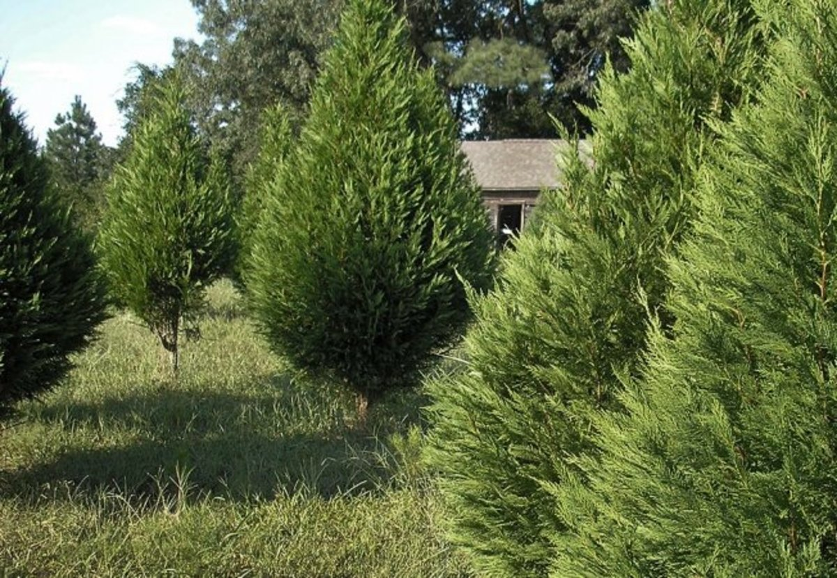 Fast Growing Hedge Trees