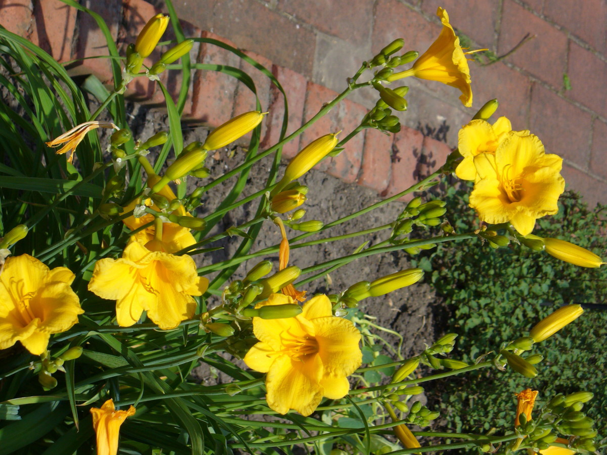 Yellow daylily flowers.  I love how easy these are to grow.