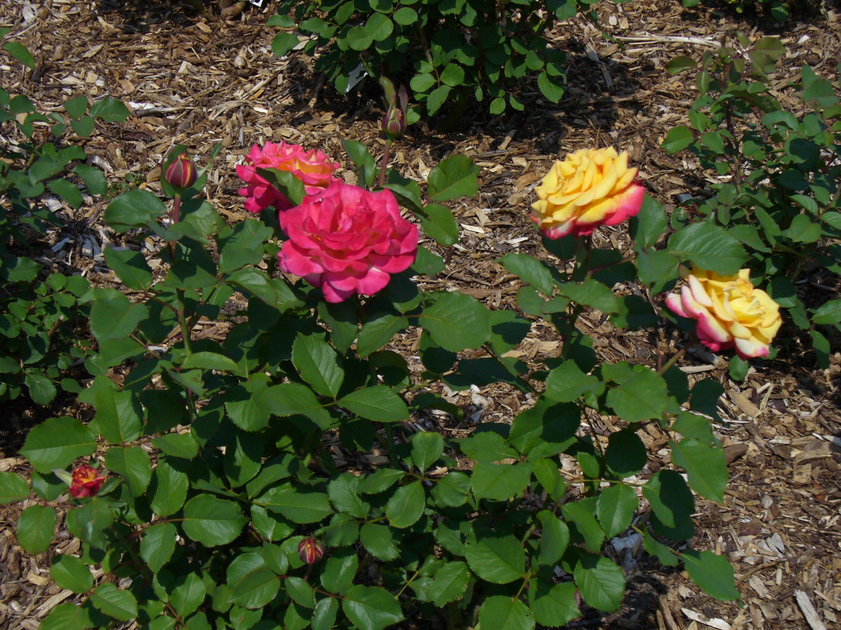 Yellow roses are so lovely to see growing in a rose garden.