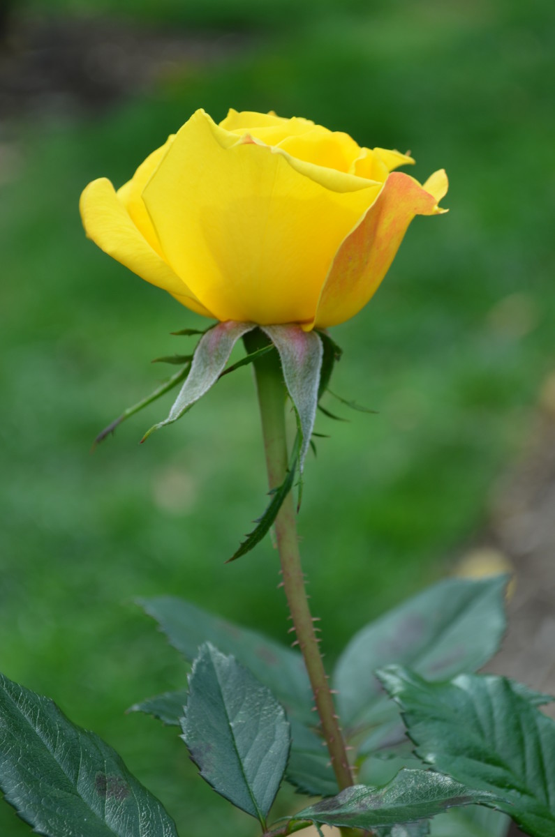 This single, gorgeous yet simple rose would be so beautiful in a bouquet of flowers.  It would also be lovely just by itself in a bud vase.