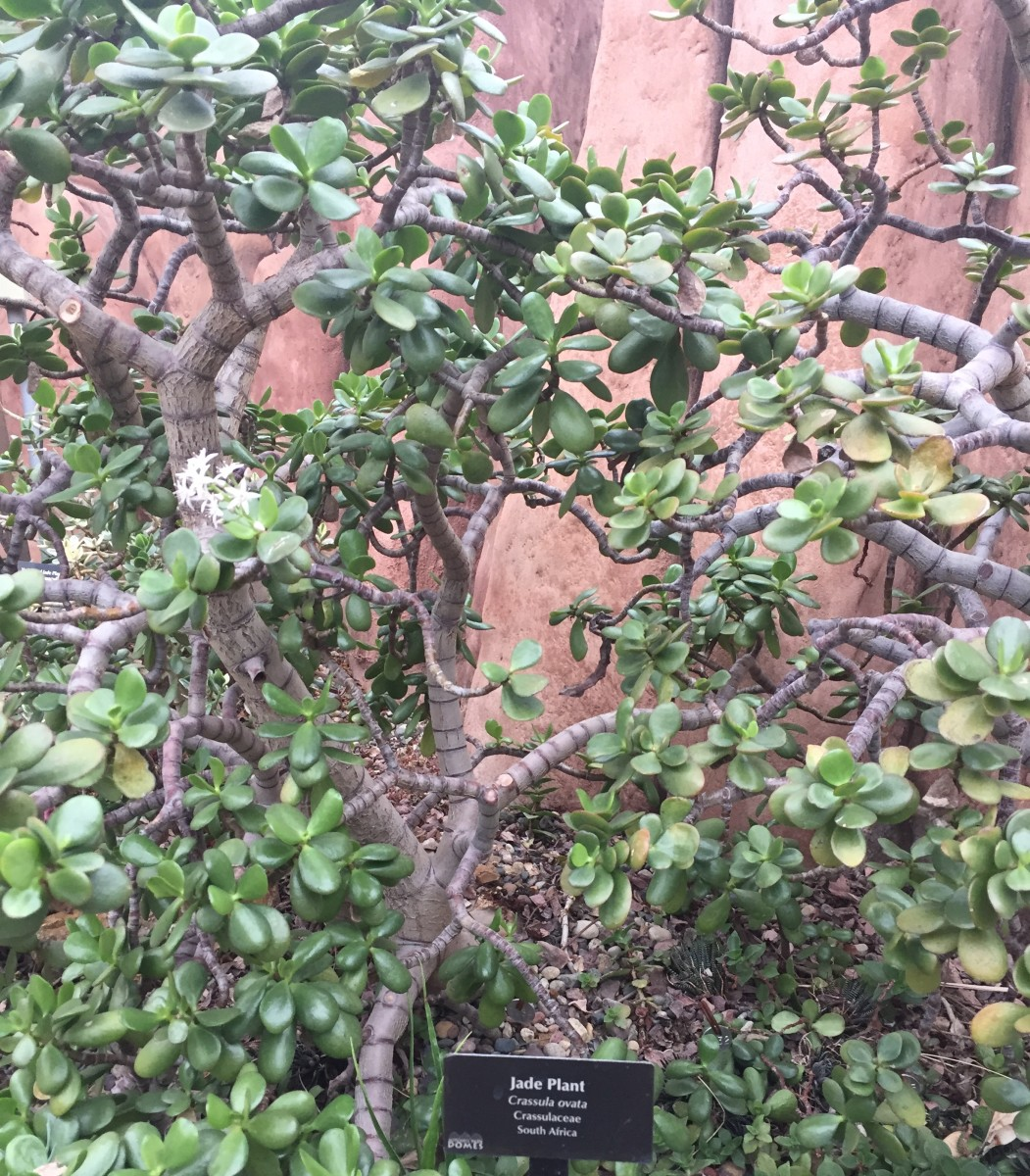 A mature jade plant at the Mitchell Domes Horticultural Conservatory in Milwaukee, WI.
