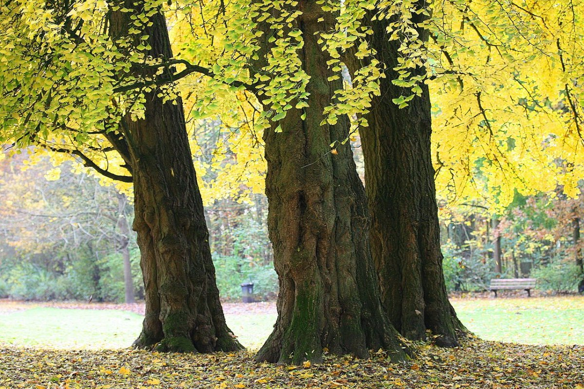 A stand of ginkgo trees in Mariemont Park, Belgium.