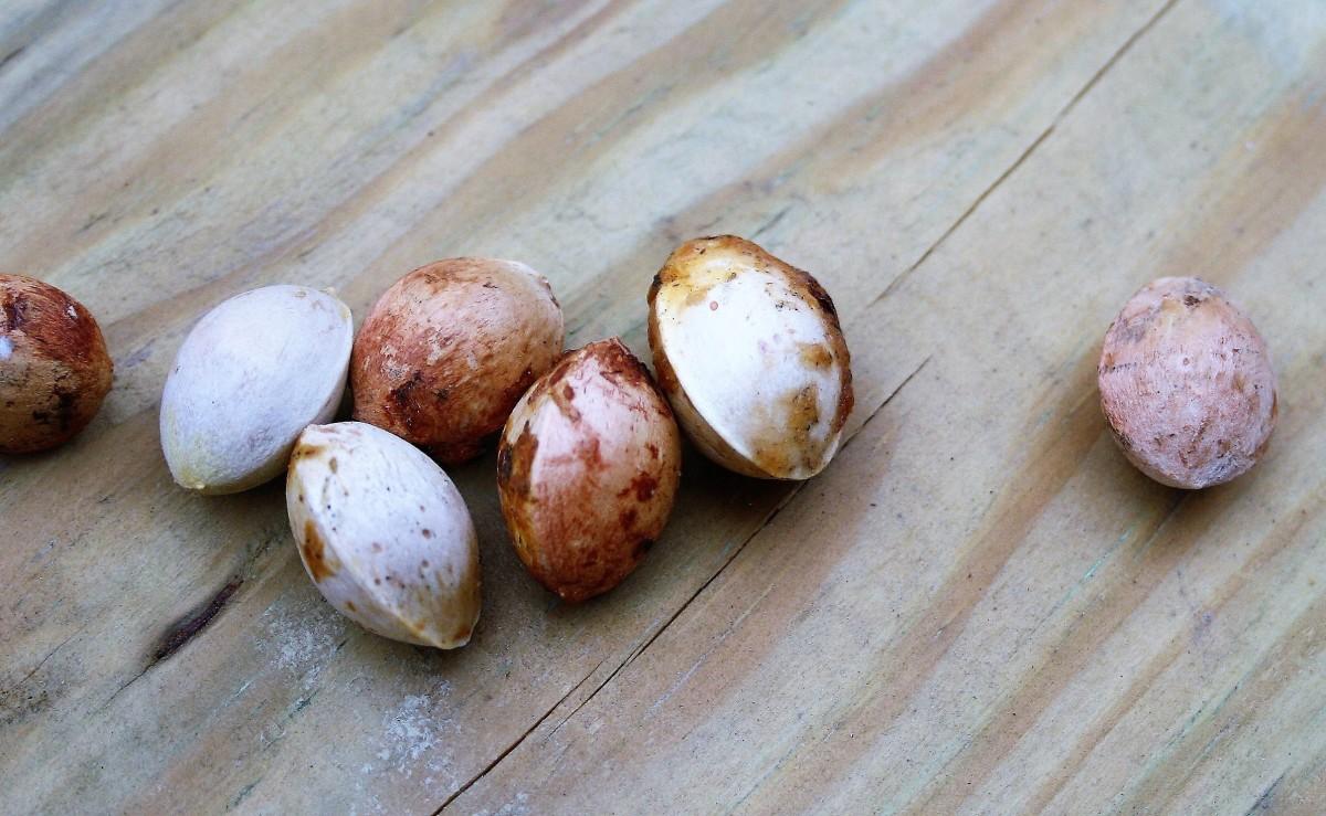 Ginkgo seeds